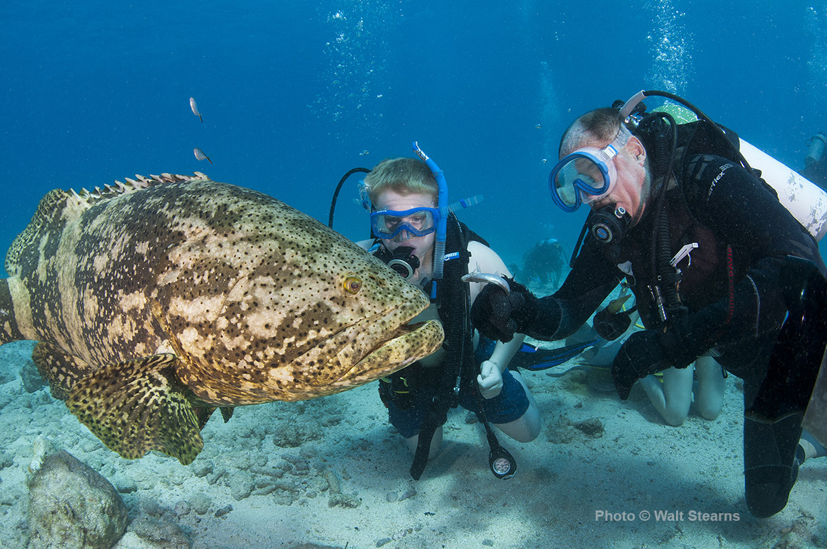 Divers give a handout to a friendly goliath grouper in the reef ...