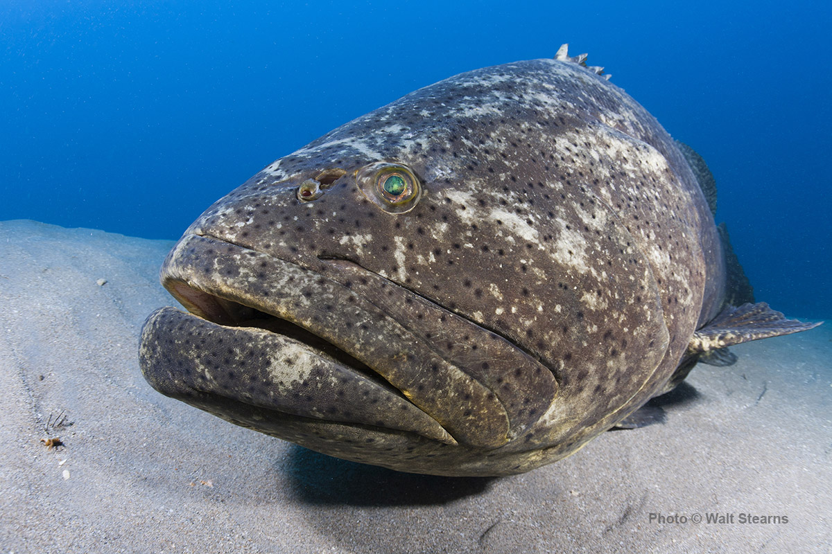 SFUPS Goliath Grouper Photo Contest GOLIATH CONSERVATION STORY
